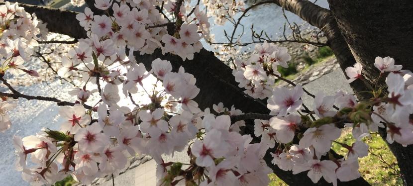 Sakura, sakura, sakura🌸